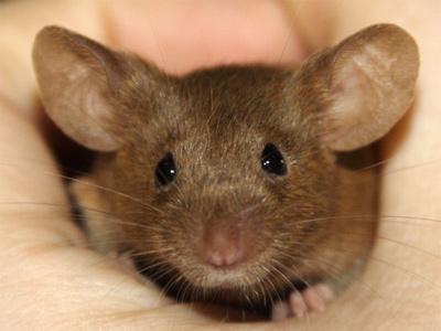 Verschil muis en rat