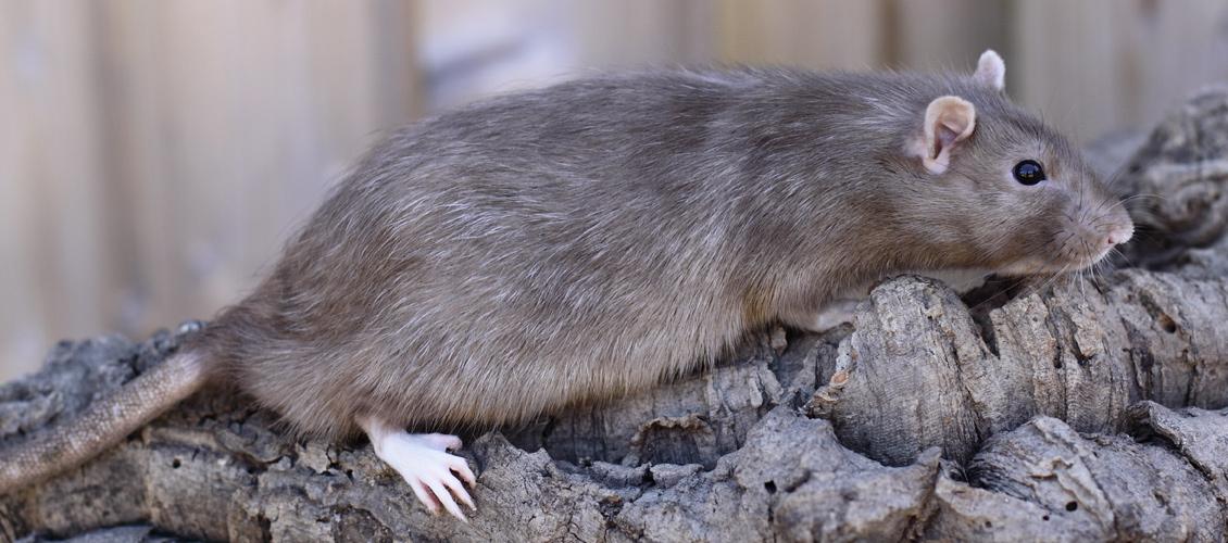 wat te doen bij ratten